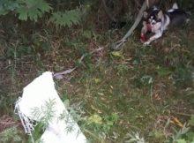 Еще одну собаку пытались разделать намясо наберегу реки вЮжно-Сахалинске 2