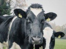 Коровы сводят все усилия нацпроектов на нет 5
