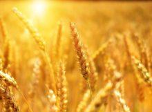 В мире вот-вот возникнет дефицит российской пшеницы